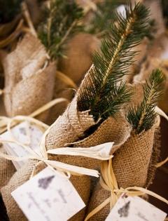 pine_tree_saplings